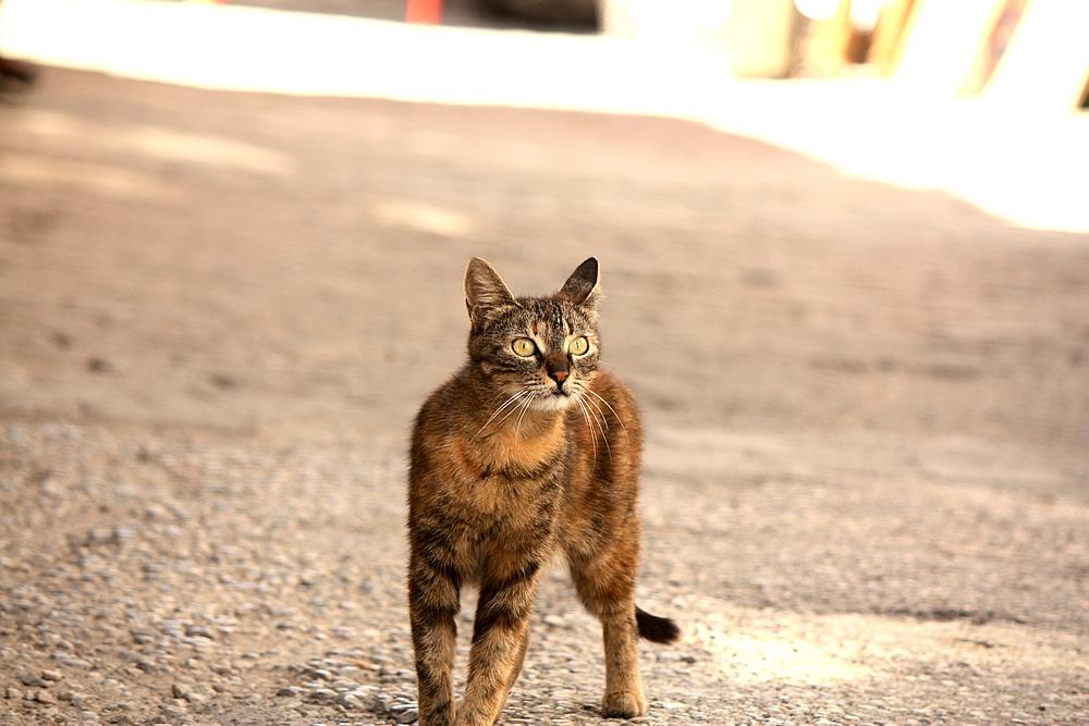 safranbolu-kedi